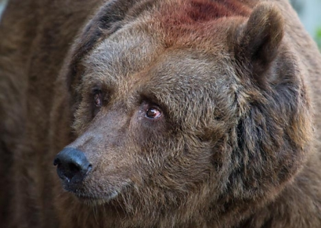 Italian bears return to Austria's woods in force