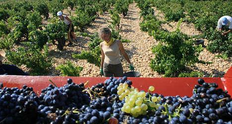 Bordeaux vineyards set to produce 'rare' vintage