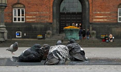 Copenhagen City Hall's pigeons put to death