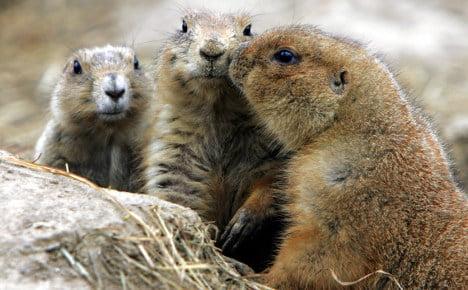 Berlin 'too warm to hibernate' for marmots
