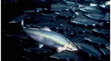 Norwegian farmed salmon is safe: report