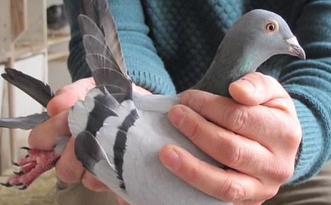 Reward offered for €150k homing pigeon