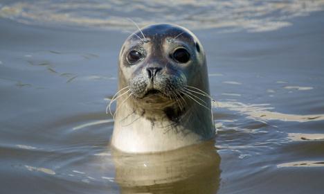 Bird flu suspected in Scandinavian seal deaths