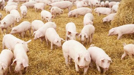Grunting pigs avert cattle raid in Campania