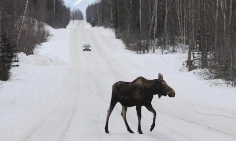 Swedish police warn of migrating elk herds