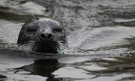 Bird flu feared in mass deaths of Danish seals