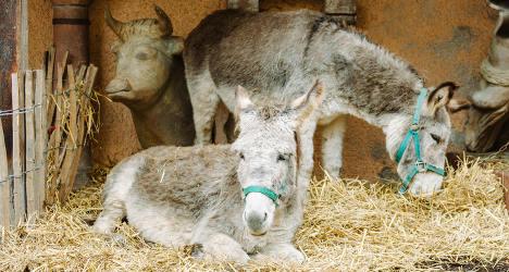 Nativity donkey squashed by fat fan