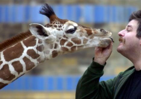 Breakfast stumble costs Berlin giraffe her life