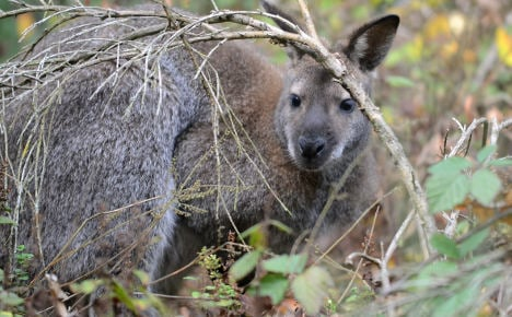 RIP Zippe – fugitive kangaroo found dead