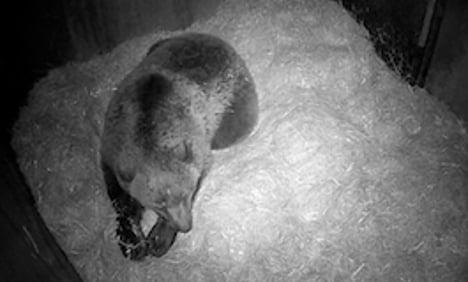 Sweden broadcasts baby bear births live online
