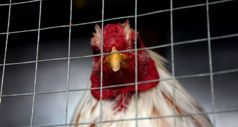 Spain bans bestiality but not animal fights