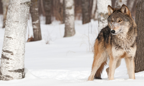 Sweden court stops hotly contested wolf hunt