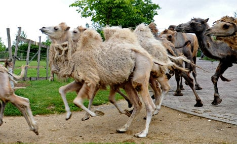 Camels' bid for freedom causes traffic chaos