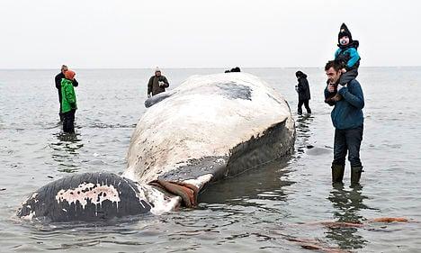 VIDEO: 15-metre whale cut up on Danish beach