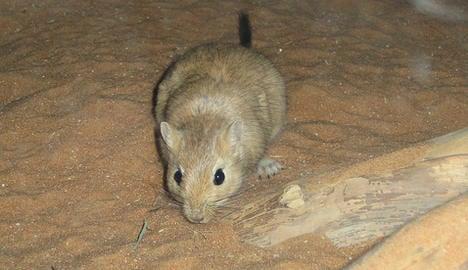 Gerbils not rats caused Black Death: Oslo Uni