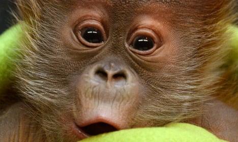Berlin welcomes baby orang-utan Rieke