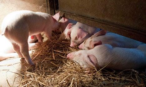 Denmark's piglet killing causes anger in Sweden