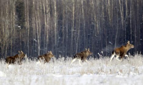 Snow forces Sweden's elk on urban food hunt