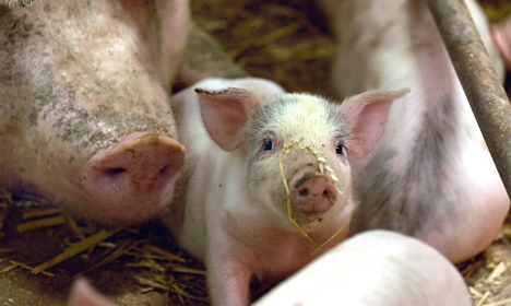 Swedish food giant vows action over Danish pigs