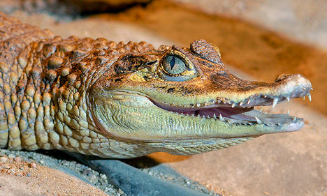 Cold snap: Paris police find chilly croc in car