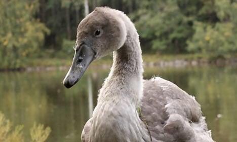 Dane calls cops over aggressive swans