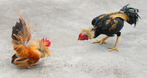 Cock fighting escapes animal cruelty ban