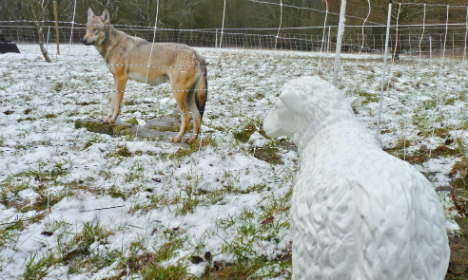 Shepherds issued emergency wolf kit