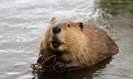 Beaver bites bus passenger in Sweden