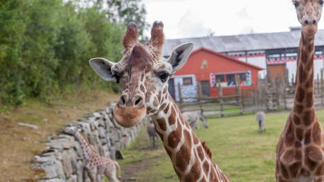 Antelope kills giraffe at Norway zoo