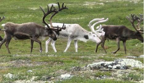 Farmed reindeer 'Norway's new salmon'