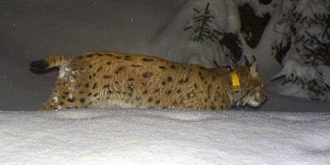 Missing lynx 'found in taxidermist's freezer'