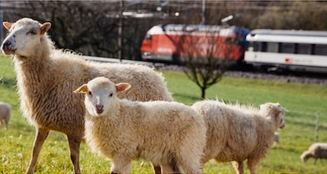 Railways rely on sheep to 'mow' grass by tracks