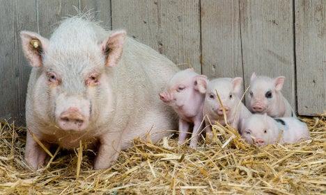 Pig farm plan to push away Muslim immigrants