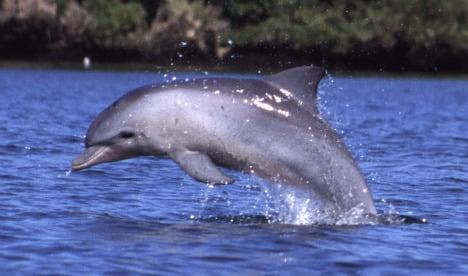 Swedes enjoy rare Baltic dolphin sight