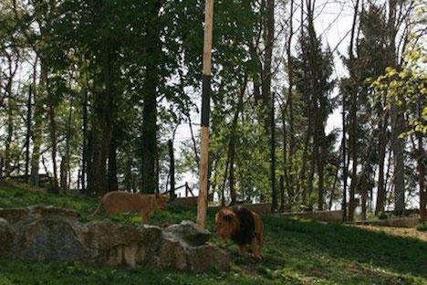 Stolen maypole hidden in the lions' den