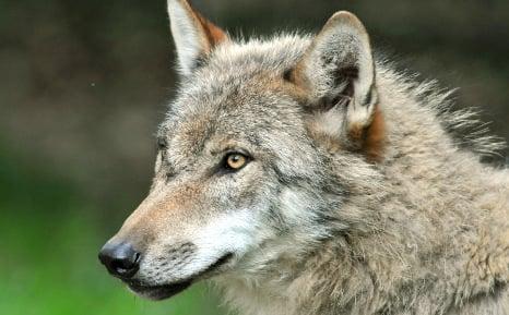 Prowling wolf reaches outskirts of Munich