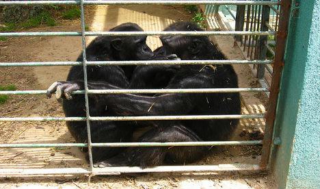 Great EscAPE: Chimps go on the run in Mallorca