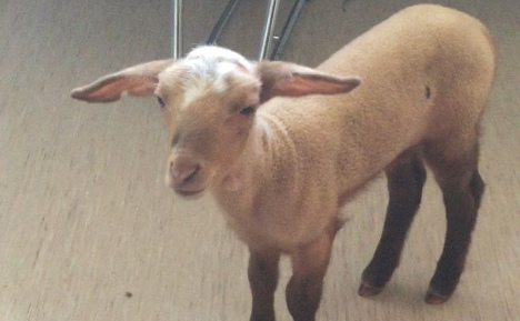 Police seize tiny lamb from Munich brothel