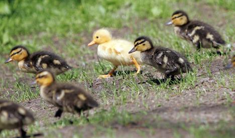 Baby ducks shut down Autobahn traffic