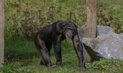 Runaway ape on the loose in Denmark