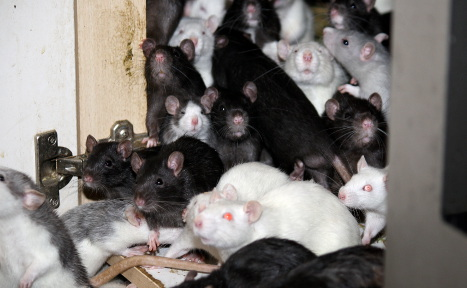 Munich man seeks help to care for his 300 rats