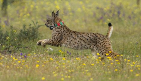 Cars threaten world's most endangered feline