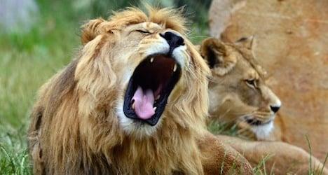 Lion threatened with extinction: IUCN report