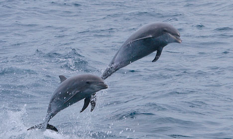 VIDEO: Rare dolphins spotted near Aarhus