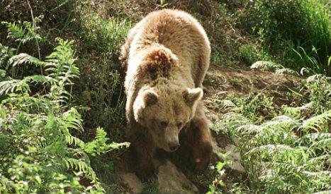 Un-bear-lievable! Bear filmed on late night run