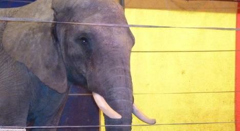 'Killer elephant' prompts call for wild animal ban