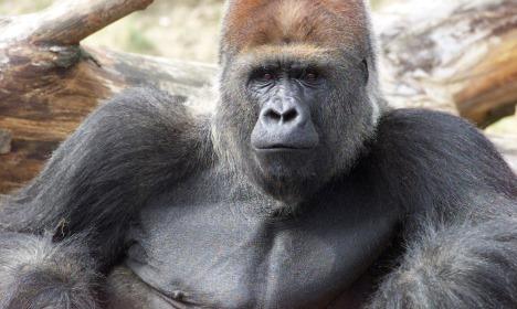 RIP Samson: Denmark mourns death of gorilla