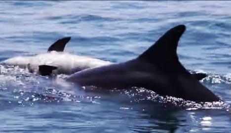 VIDEO: Dolphin refuses to abandon dead calf