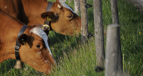 Swiss army airlifts water to thirsty cows