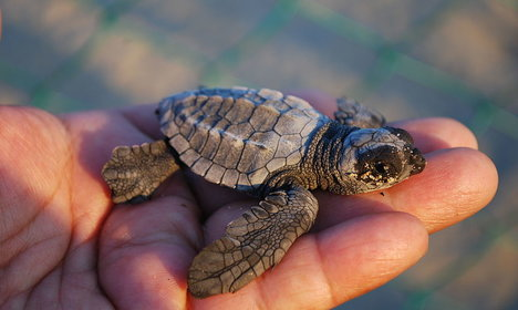 Nesting sea turtles return to Sicily